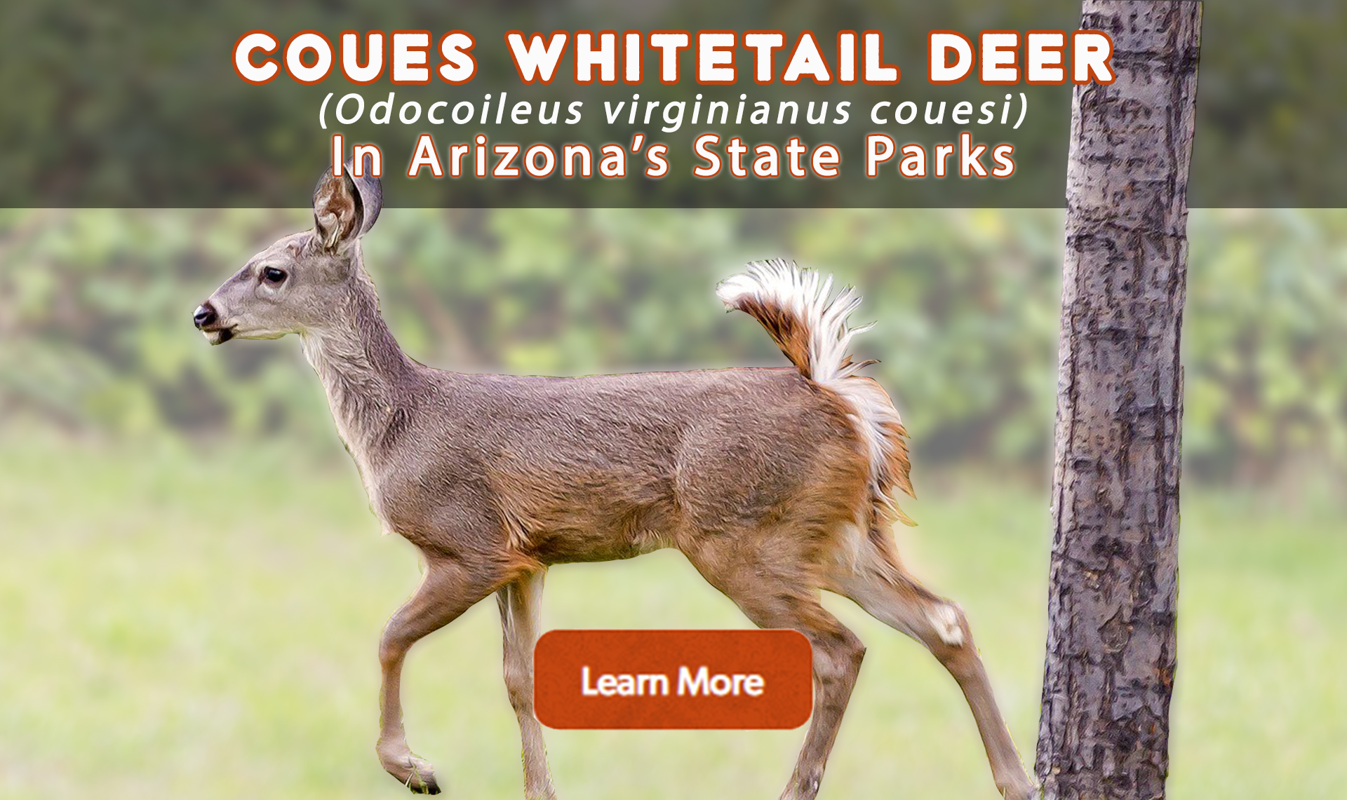 Learn about coues whitetail deer