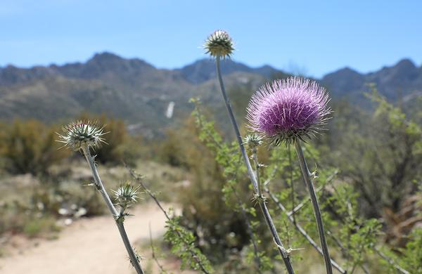 Wildflowers: Close up photo of New Mexico Thistle along a desert trail