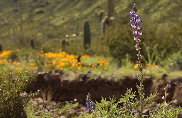 Desert Plants: Coulter's Lupine blooms amid poppys at Picacho Peak State Park