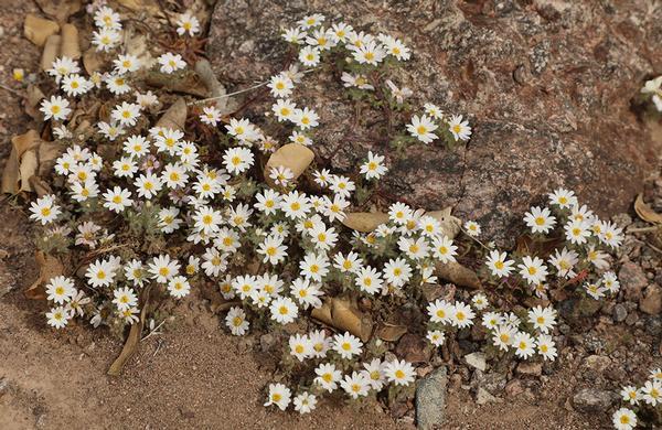 Wildflowers: A mat of Desertstar Daisy flowers in sandy desert wash
