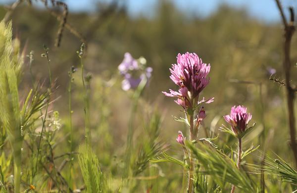 Wildflowers: Close up photo of Purple Owl's Clover blooms