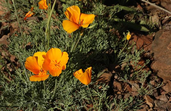 Desert Plants: CLose up photo of California Poppy blooms at Picacho Peak State Park