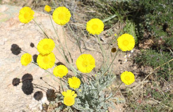 Wildflowers: Round, yellow Desert Marigold blooms at Roper Lake State Park.