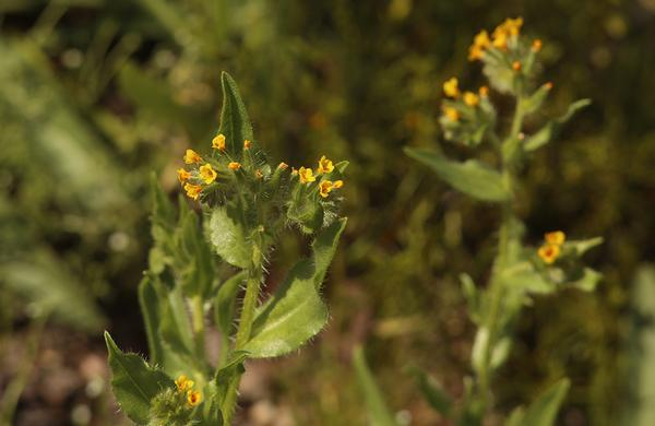 Wildflowers: Small and yellow Fiddleneck flowers on rocky desert hillside