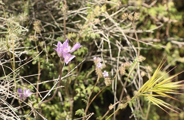 Wildflowers: Bluedick Flower purple bloom on desert floor