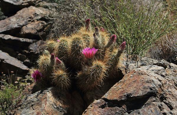 Desert Plants: Southern Arizona Hedgehog Cactus with pink flowers