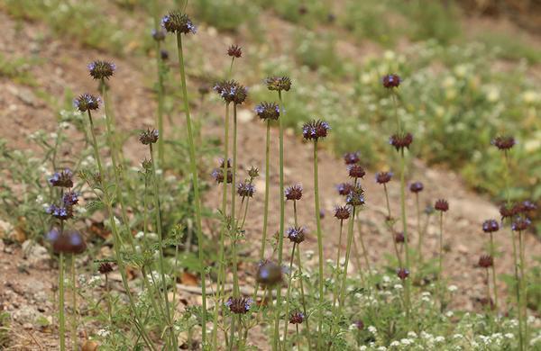 Wildflowers: Low elevation Desert Chia blooms on desert hillside
