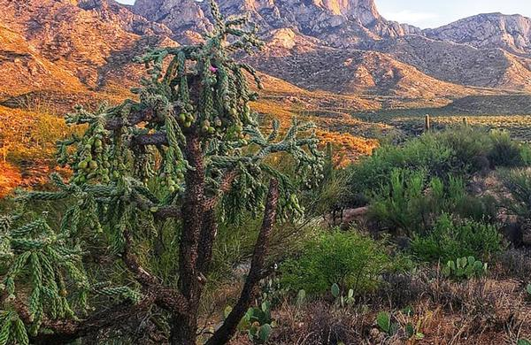 Desert Plants: Chain Fruit Cholla at Catalina State Park