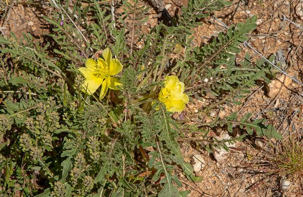 Wildflowers: Yellow Desert Primrose blooms in desert wash