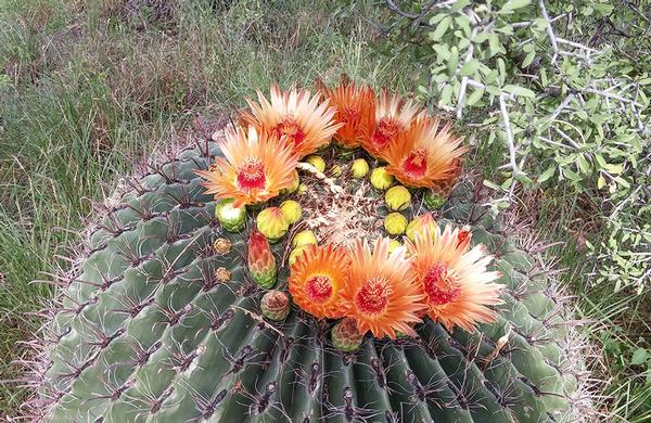 Desert Plants: Barrel Cactus with orange late summer blossoms