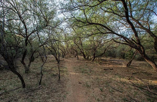 Desert Plants: Mesquite