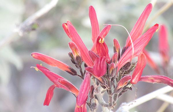 Desert Plants: Red Chuparosa blooms at Lost Dutchman State Park