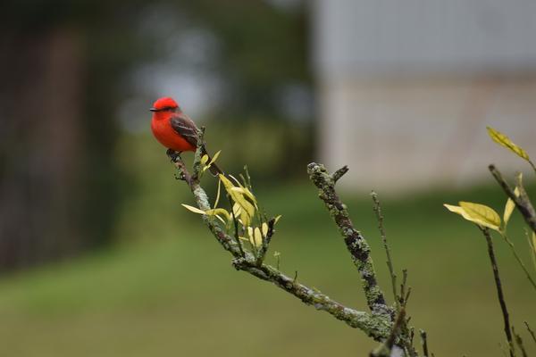Birds of Arizona: Vermillion Flycatcher