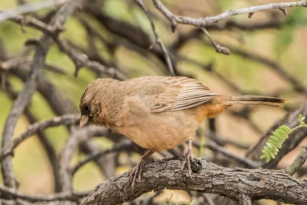 Birds of Arizona: Abert's Tohwee