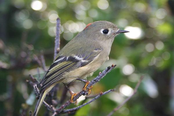 Birds of Arizona: Ruby-Crowned Kinglet