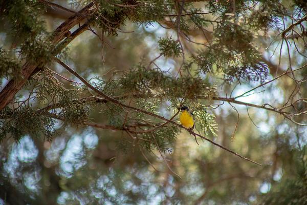 Birds of Arizona: Lesser Goldfinch