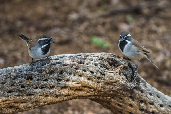Birds of Arizona: Black Throated Sparrow