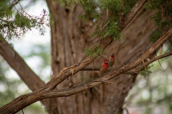 Birds of Arizona: House Finch
