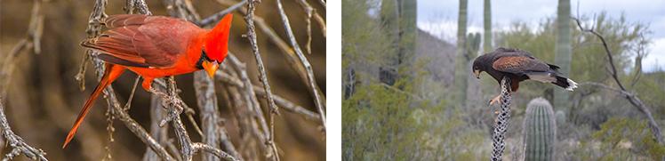 Birds of Arizona 1
