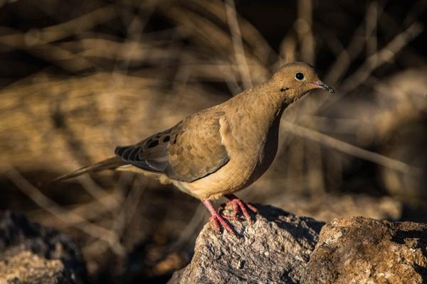 Birds of Arizona: Mourning Dove