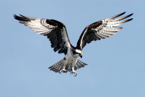 Birds of Arizona: Osprey