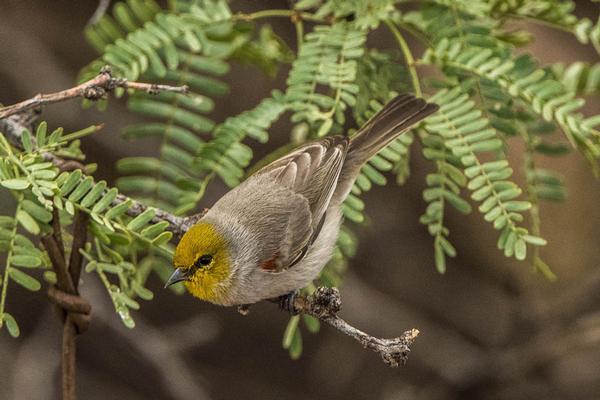 Birds of Arizona: Verdin