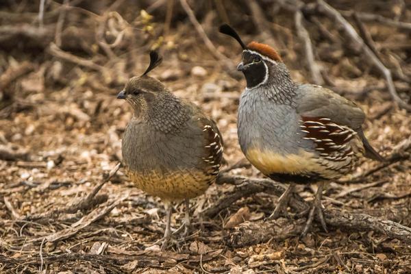 Birds of Arizona: Gambel's Quail