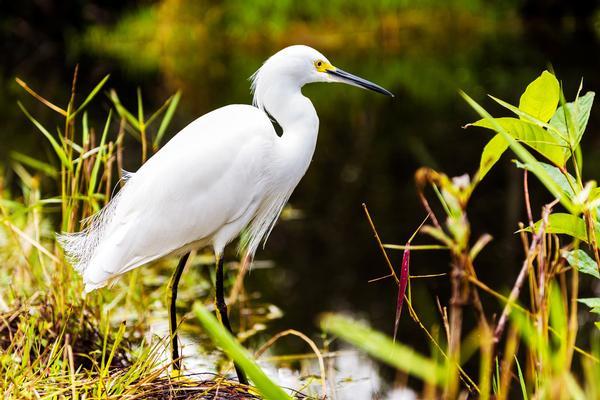 Birds of Arizona: Snowy Egret