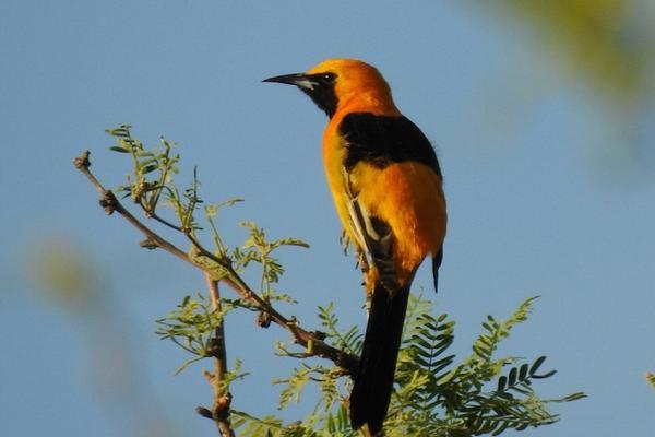 Birds of Arizona: Hooded Oriole