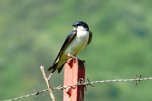 Birds of Arizona: Tree Swallow