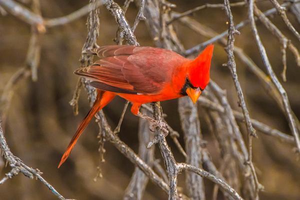 Birds of Arizona: Cardinal