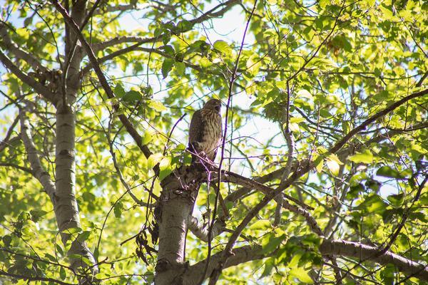 Birds of Arizona: Cooper's Hawk