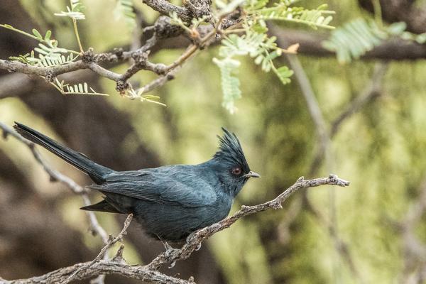 Birds of Arizona: Phainopepla