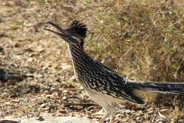 Birds of Arizona: Greater Roadrunner