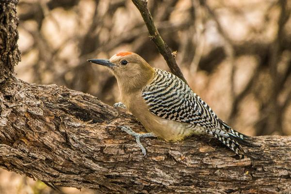 Birds of Arizona: Gila Woodpecker