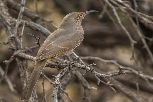 Birds of Arizona: Curve Billed Thrasher