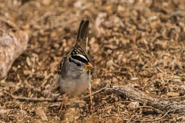 Birds of Arizona: White-Crowned Sparrow