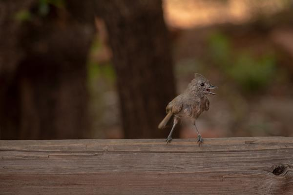Birds of Arizona: Tufted Titmouse