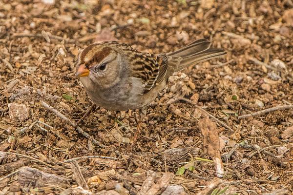 Birds of Arizona: Chipping Sparrow
