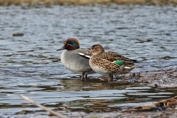 Birds of Arizona: Green-Winged Teal