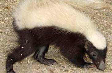 Arizona hog-nosed skunk
