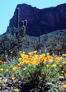 Mexican Poppies in bloom at the park.