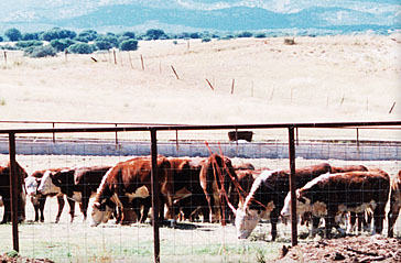 Cattle in the valley in 1998